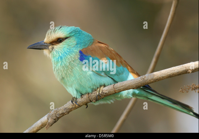 Abyssinian Roller (Coracias abyssinica) in The Gambia, Africa - Stock-Bilder