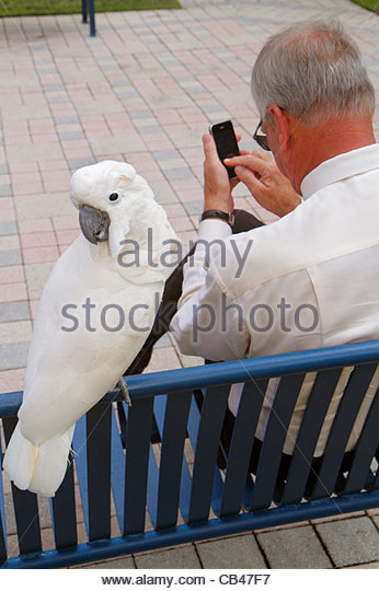Boca Raton Florida Mizner Park Plaza Real man senior bench cockatoo parrot checking mobile cell smart phone - Stock Image