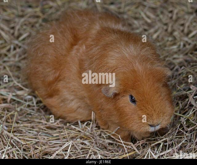 Beige Guinea Pig (cavia porcellus) - Stock Image