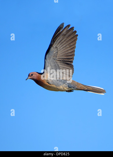 Laughing Dove flying - Stock Image