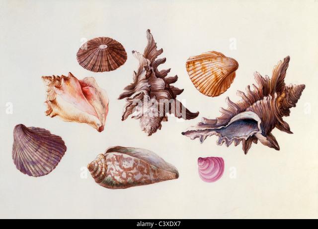 Seashells, by Claude Aubriet. France, 17th-18th century - Stock-Bilder