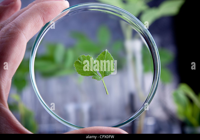 Laboratory glassware, experiments on plants - Stock Image