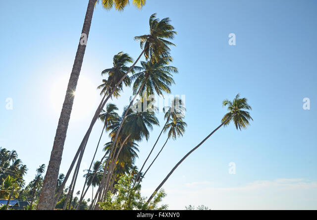 Coconut trees by the beach - Stock Image