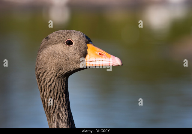 A goose head set against mottled water and greenery with copyspace - Stock Image