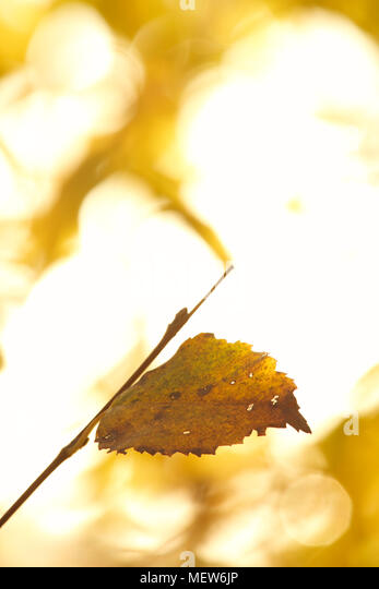 An autumn colored birch leaf is lit by the morning sun. - Stock Image