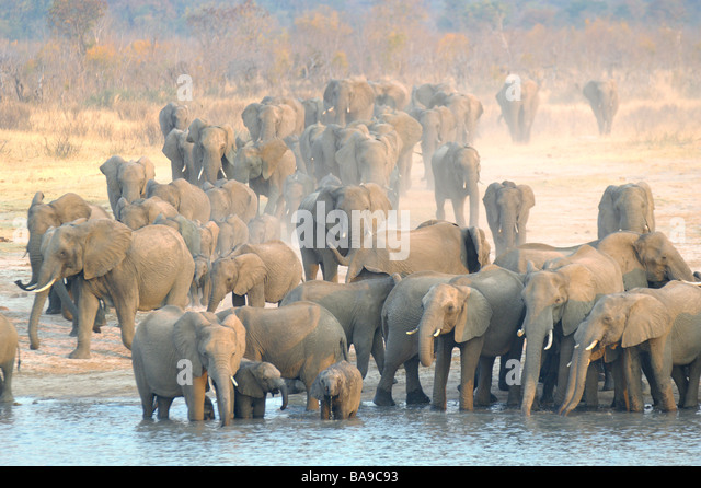 African Elephant Loxodonta Africana Hwange National Park Zimbabwe large family herds drinking animal behaviour water - Stock Image