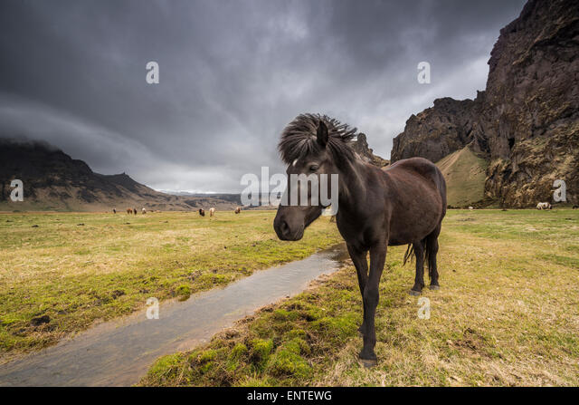 Icelandic Horse in the Iceland landscape - Stock Image