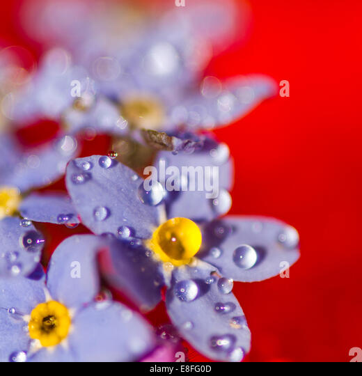 water droplets on purple flowers - Stock Image