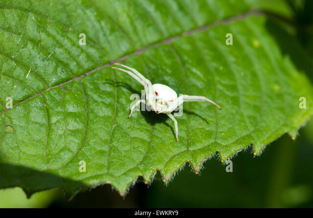 An Albino Goldenrod Crab Spider, Misumena Vatia Thomisidae, standing on a Monarda Balm leaf - Stock Image