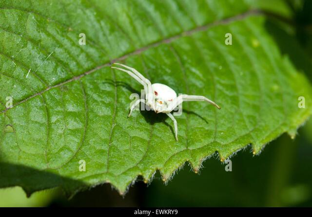 An Albino Goldenrod Crab Spider, Misumena Vatia Thomisidae, standing on a Monarda Balm leaf - Stock Image