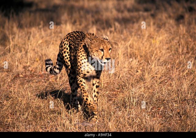 Africa Cheetah walking in the bush - Stock Image