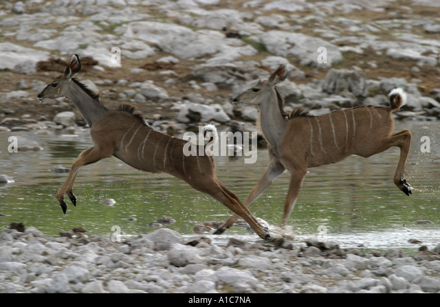 Two young Kudu antelope, startled by a predator at a waterhole in Etosha National Park, Namibia, Africa. - Stock Image