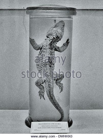 A preserved lizard specimen, Bangkok, Thailand, South East Asia. - Stock Image