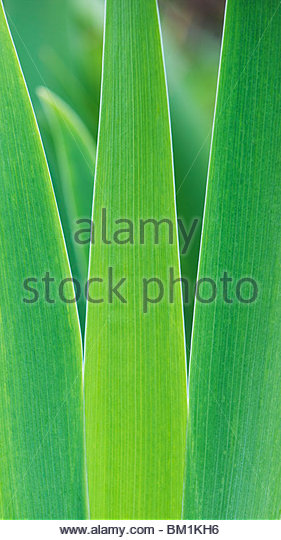 Iris plant leaf pattern abstract - Stock Image