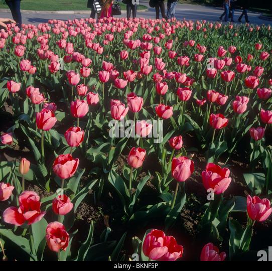 Beautiful red tulips. - Stock-Bilder