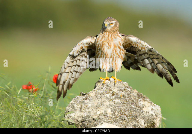 Montagus Harrier (Circus pygargus), adult female standing on a rock with wings open. - Stock-Bilder
