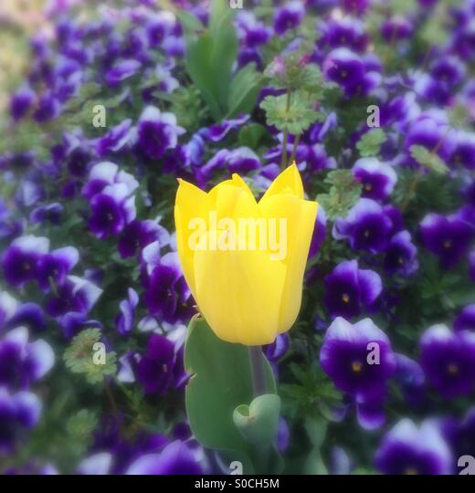 Pretty yellow tulip among a field of violets in Spring, with blurred edges. - Stock Image