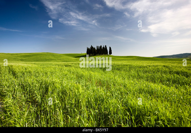 Group of cypress trees on ridge above field of cereal crops, near San Quirico d'Orcia, Tuscany, Italy, Europe - Stock Image