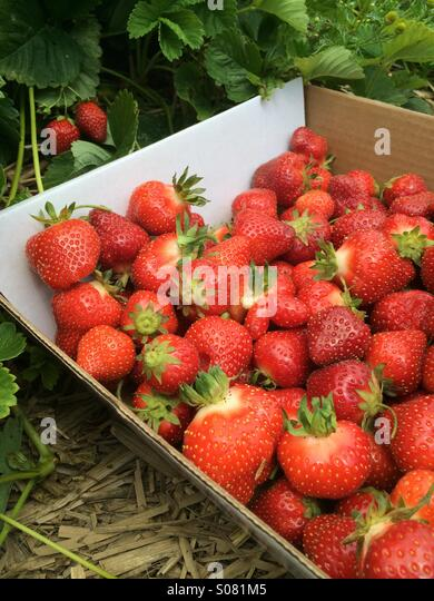 Strawberry picking. - Stock Image