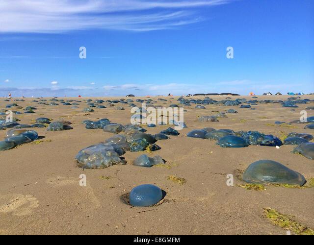 Jellyfish stranded on beach, Fanoe, Denmark - Stock Image