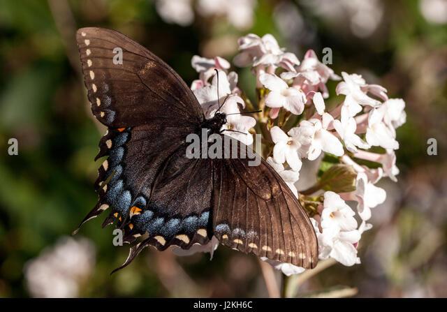 Eastern Tiger Swallowtail (Papilio glaucus) Dark Morph - Brevard, North Carolina, USA - Stock Image