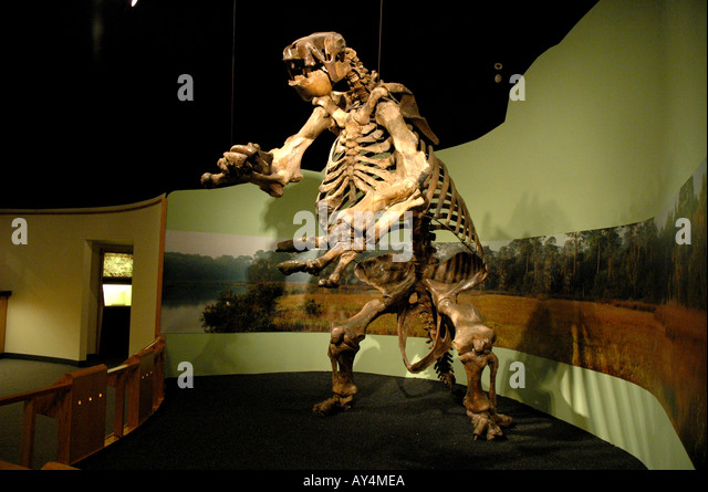 Giant Ground Sloth fossil giant prehistoric mammal North American ground sloth Daytona Museum of Arts and Sciences - Stock Image