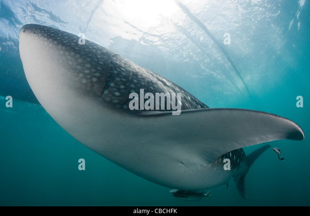 Whale Shark, Rhincodon typus, Cenderawasih Bay, West Papua, Indonesia - Stock Image