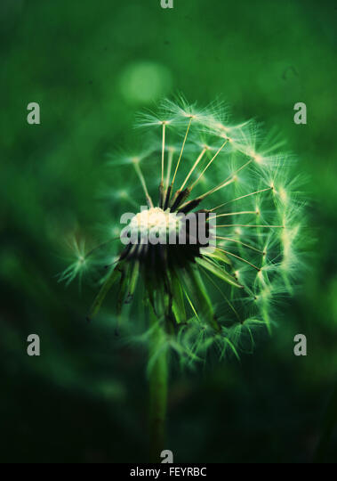 gardening, seeds, nature, still life, macro photography, color photography, dandelions, green - Stock Image