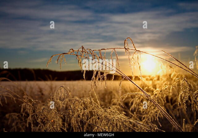 Frost covered withered grasses are illuminated by low winter sun. - Stock Image