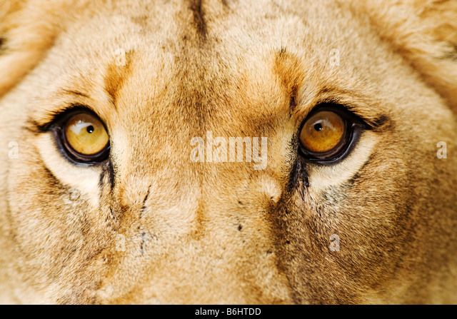 Lion Panthera leo Close up of a lioness Dist Sub Saharan Africa - Stock Image