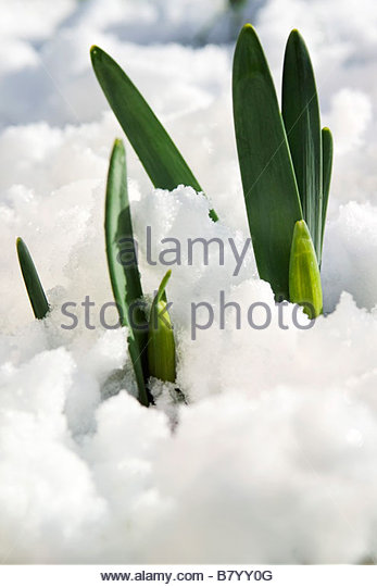Narcissus (Daffodil) new foliage & flower buds pushing through snow - Stock Image