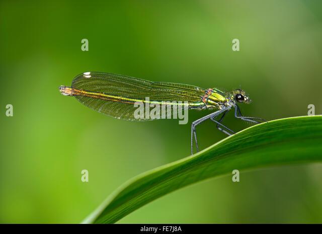 Banded Demoiselle (Calopteryx splendens), females, Canton of Geneva, Switzerland - Stock Image