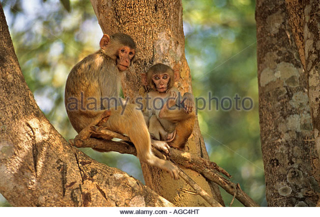 Myanmar, Bago, Monkey sitting on branch - Stock-Bilder
