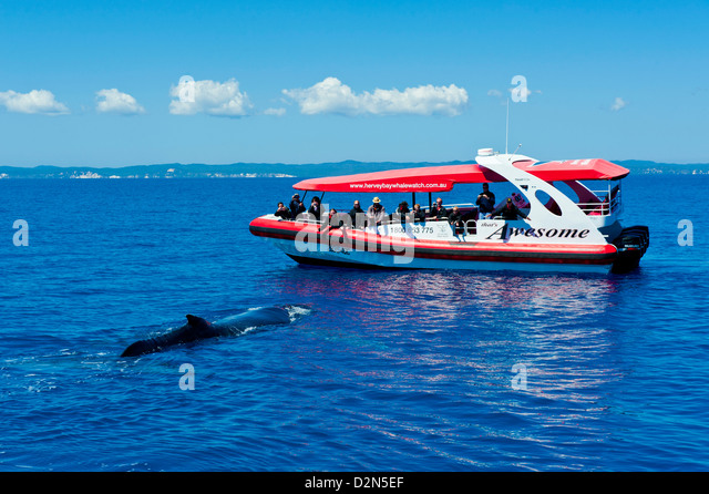 Humpback whale (Megaptera novaeangliae) and people whale watching in Harvey Bay, Queensland, Australia, Pacific - Stock Image