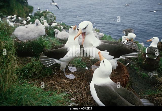 Campbell black browed albatross Campbell albatross Colony Campbell Island New Zealand Large chicks Squabbling adults - Stock Image