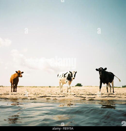 Sweden, Oland, Three cows on beach - Stock Image