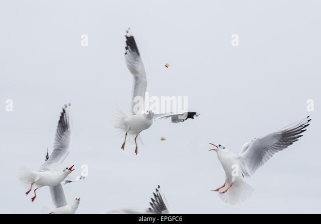 seagulls fighting for the food - Stock Image