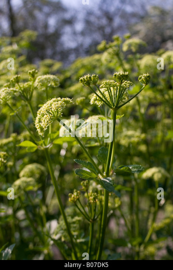 aplaceae smyrnium olusatrum - Stock Image