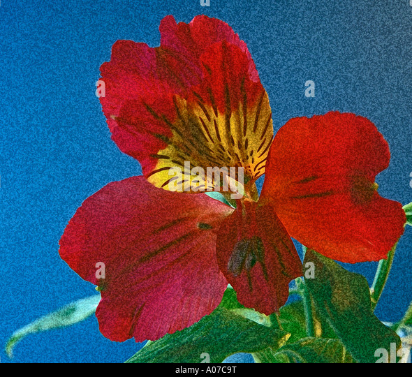 STUDIO Deep Red Alstroemeria with the image enhanced to look like a painting on canvas - Stock Image