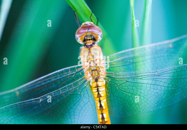 The dragonfly with beautiful colors - Stock Image
