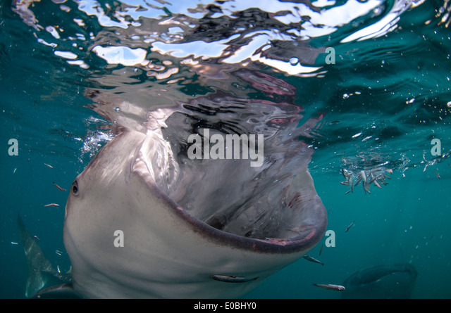 Whale shark with open mouth, Cenderawasih Bay, New Guinea, Indonesia (Rhincodon typus) - Stock-Bilder