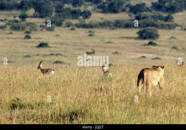 Lioness Hunting two Thomsons Gazelles. Maasai Mara, Kenya - Stock Image