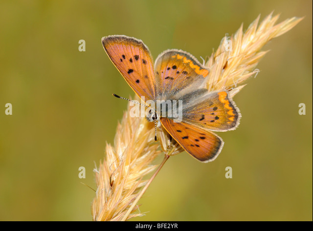 Purplish copper (Lycaena helloides) on tall grass in Mount Tolmie Park, Saanich, British Columbia, Canada - Stock Image