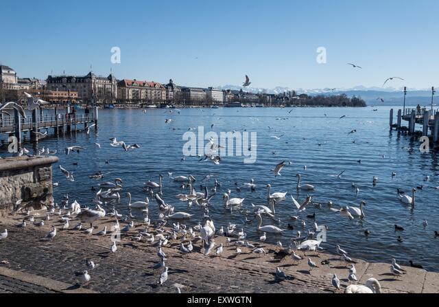 Swans and birds, Lake Zurich, Zurich, Switzerland, Europa - Stock Image