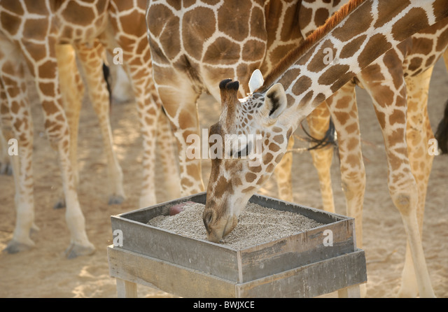 Adult giraffe (Giraffa camelopardalis) at a feeding station on Sir Bani Yas Island, UAE - Stock Image