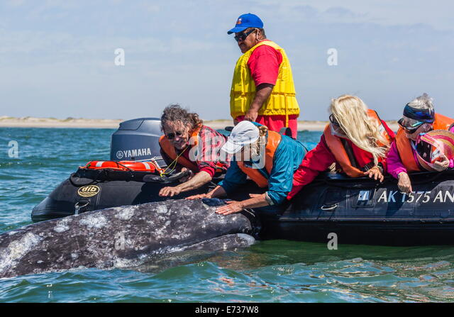 California gray whale (Eschrichtius robustus) with excited whale watchers in Magdalena Bay, Baja California Sur, - Stock Image