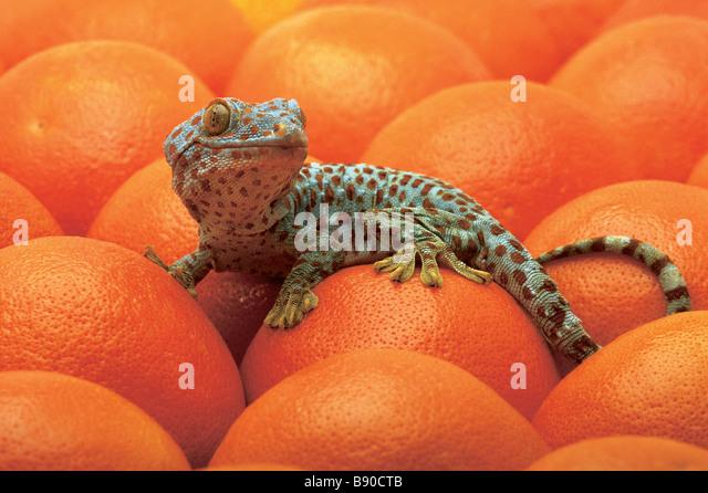 FL1179, Kitchin/Hurst; Spotted Lizard Oranges - Stock Image