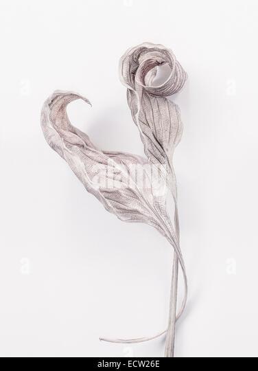 Two dry Hosta Leaves - Stock Image