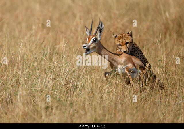 Cheetah (Acinonyx jubatus) catching gazelle Maasai Mara Kenya Africa - Stock Image
