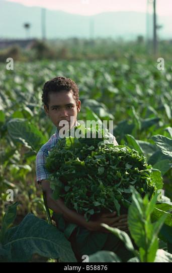 Picking tobacco, Santiago, Dominican Republic, West Indies, Central America - Stock-Bilder